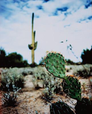 Cacti in Desert PDI0383620