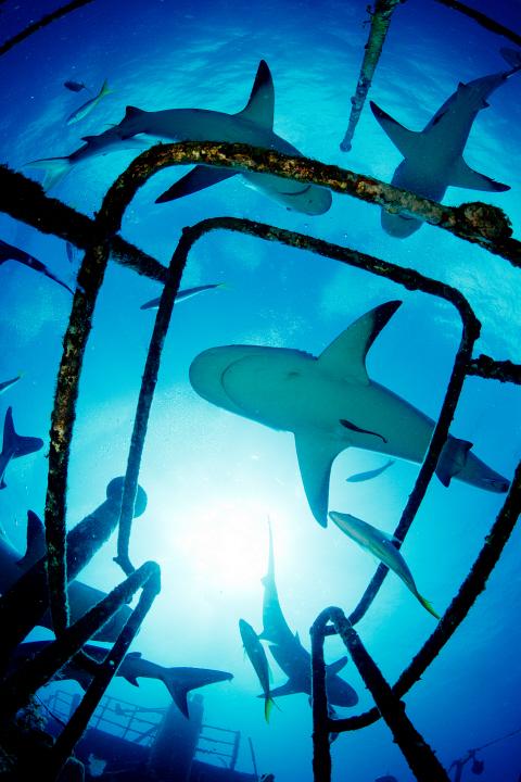 Caribbean Reef Sharks (Carcharhinus perezi) PDI0459491