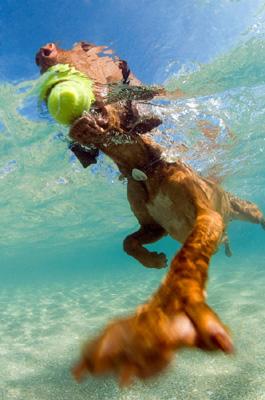 A male canine Vizsla breed retrieves a tennis ball from the shallows of the sea shore, Palm Beach, Florida, Atlantic Ocean, USA. ©MediaBakery #AFS0055718