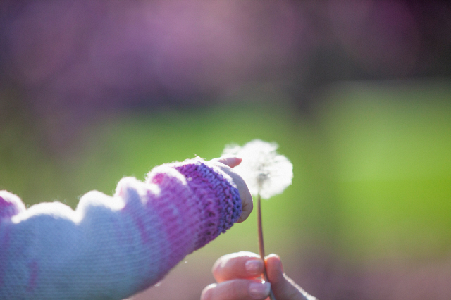 Media Bakery Image ID: IMS0235259 Baby girl touching dandelion clock