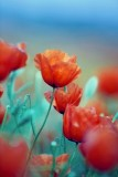 05 May 2015 --- Wild poppy in the field. Close-up view --- Image by © 3photo/Corbis