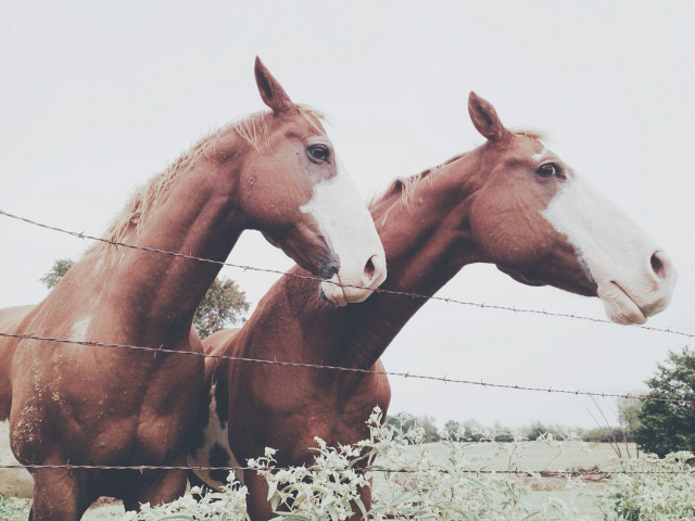 Brown horses standing side by side in pasture